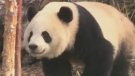 Giant Pandas back home