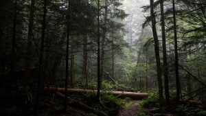 A fallen tree rests in an area of virgin spruce forest in Monongahela National Forest, W.Va., on Aug. 27, 2019. (AP Photo/Patrick Semansky)