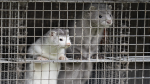 The Danish government has culled millions of mink to prevent the spread of a mutated strain of COVID-19.
