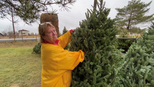 Donna Woods has found the perfect frasier-fir at Fallowfield Tree Farm, the most popular, in-demand Christmas tree this season. Ottawa, ON. Dec. 1, 2020. (Tyler Fleming / CTV News)