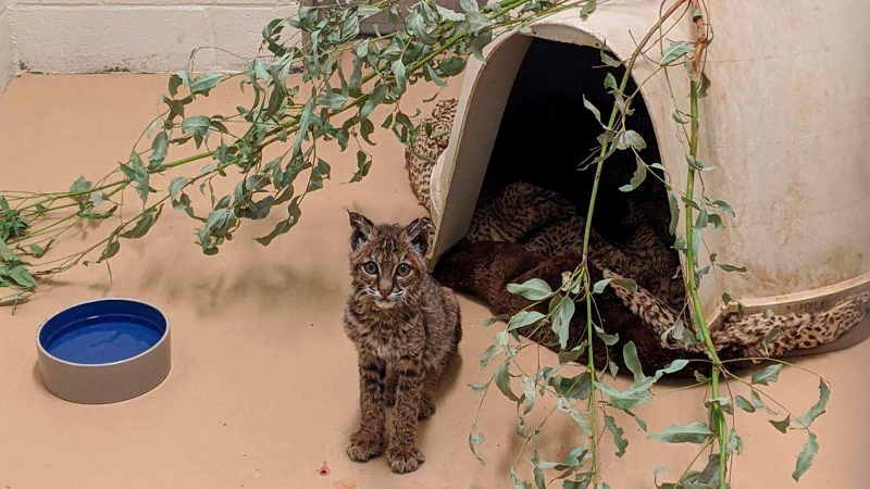 This Oct. 16, 2020 photo provided by the San Diego Humane Society shows a young bobcat at the San Diego Humane Society's Ramona Wildlife Center in Ramona, Calif. (San Diego Humane Society via AP)