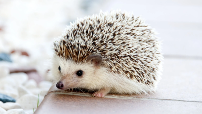 A hedgehog is seen in this stock image. (Pexels)