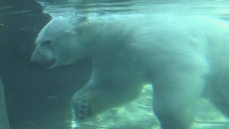 Confusion about future of polar bear habitat