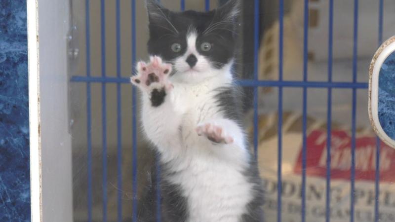 Cat up for adoption at Windsor-Essex Humane Society (Chris Campbell/CTV Windsor)