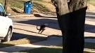 Wallaroo on the run