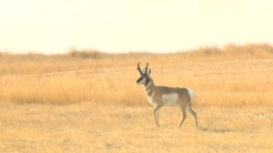 Video shows train hitting antelope herd