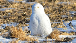 Snow owl spotted in a field near Dugald. Photo by John Persichetti.