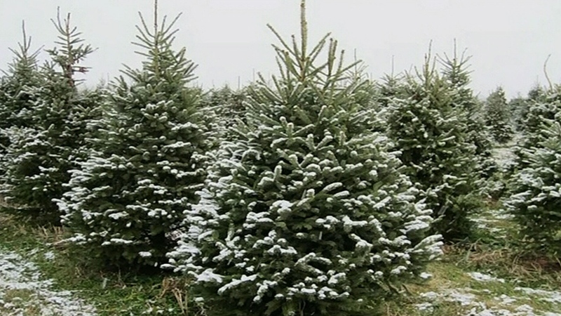 Demand increases for real Christmas trees