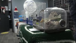 Gerbils were dropped off at the Cambridge Humane Society