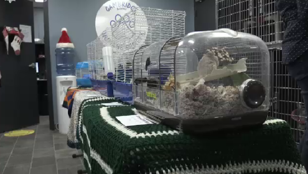 16 gerbils left at Cambridge Humane Society