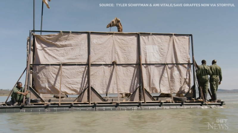 Watch: A Rothschild's giraffe stranded on a Kenyan island is being transported on a steel barge to its new home in a conservation sanctuary