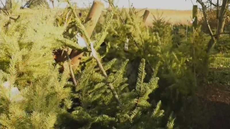 Demand for Christmas trees soars amid pandemic