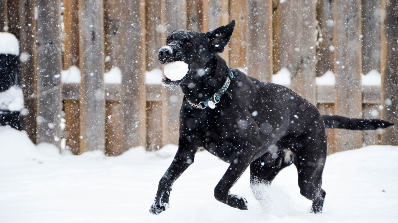 A black dog runs through snow carrying a snowball in its mouth. (Photo by Tsuneya on Unsplash)