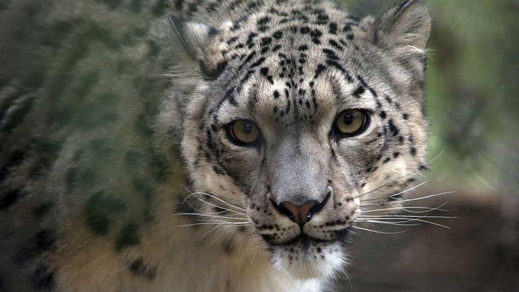 Snow leopard at Louisville Zoo tests positive for coronavirus