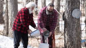 Sucrerie de la Montagne founder Pierre Faucher, left, and his son and co-owner Stefan Faucher gather maple water on the grounds of their sugar shack in Rigaud, Que., west of Montreal, Saturday, April 4, 2020. THE CANADIAN PRESS/Graham Hughes