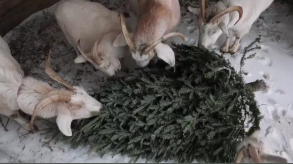 Christmas tree recycling pickup in BG begins January 4