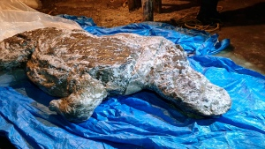This photo taken in Aug. 2020 shows the carcass of a woolly rhino, taken in Yakutia, The well-preserved carcass with most of its internal organs still intact was released by permafrost in August and scientists hope to transport it to the lab for studies next month. (Valery Plotnikov/Mammoth Fauna Study Department at the Academy of Sciences of Yakutia via AP)