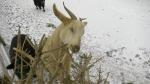 A goat enjoys a real Christmas tree at Vanderlaand the Barnyard Zoo in eastern Ontario. (Nate Vandermeer/CTV News Ottawa)