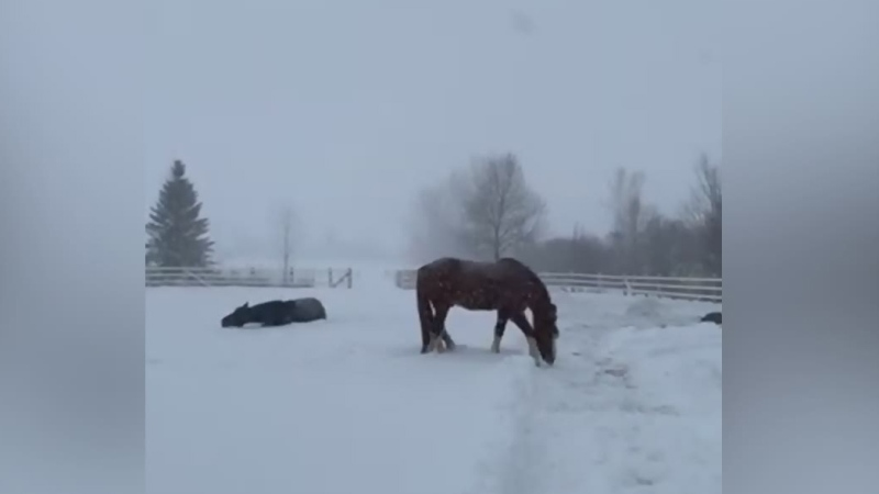 Horses frolic in fresh snow on Quebec farm