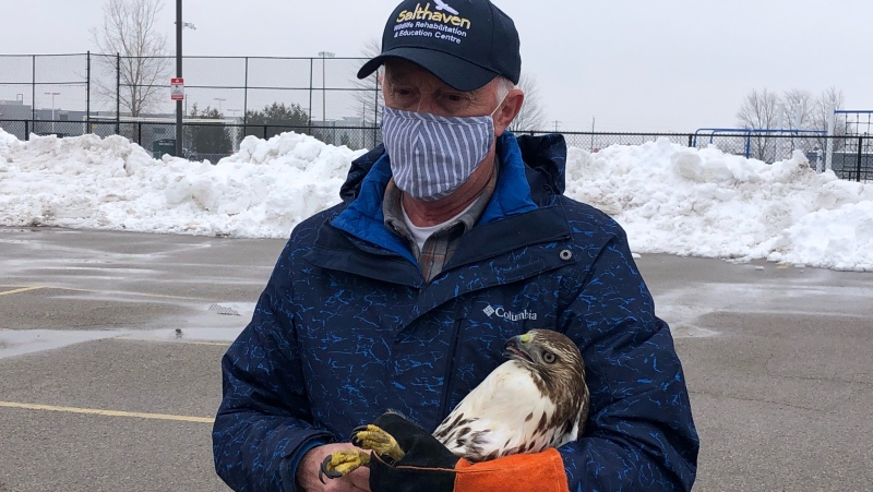 Brian Salt, founder of Salthaven Wildlife Rehabilitation Centre, releases a red-tailed hawk in south London, on Monday, Jan. 4, 2020. (Jordyn Read / CTV News)