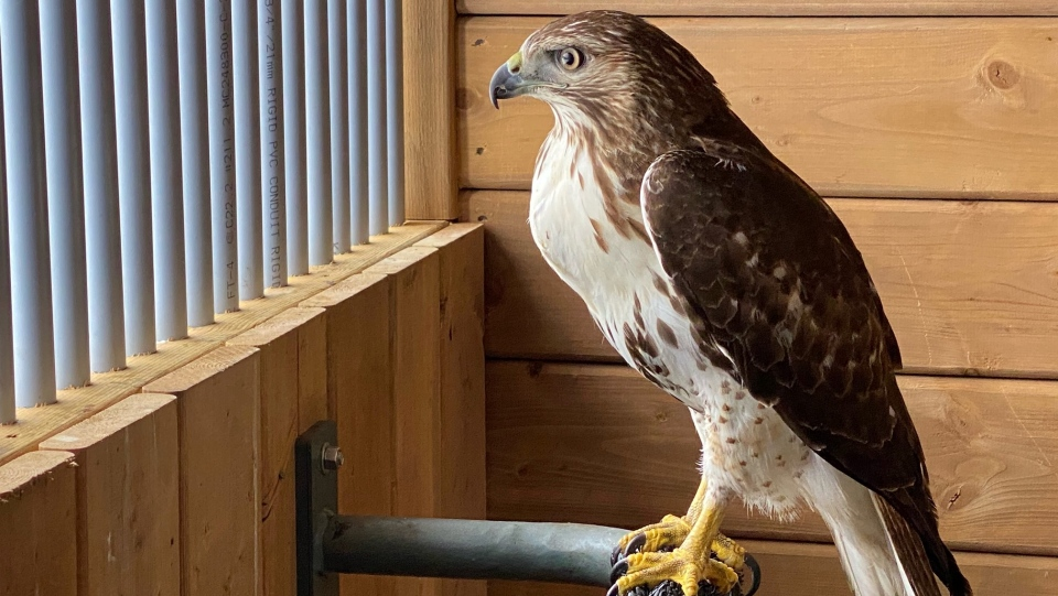 Rudy the Red-tailed Hawk