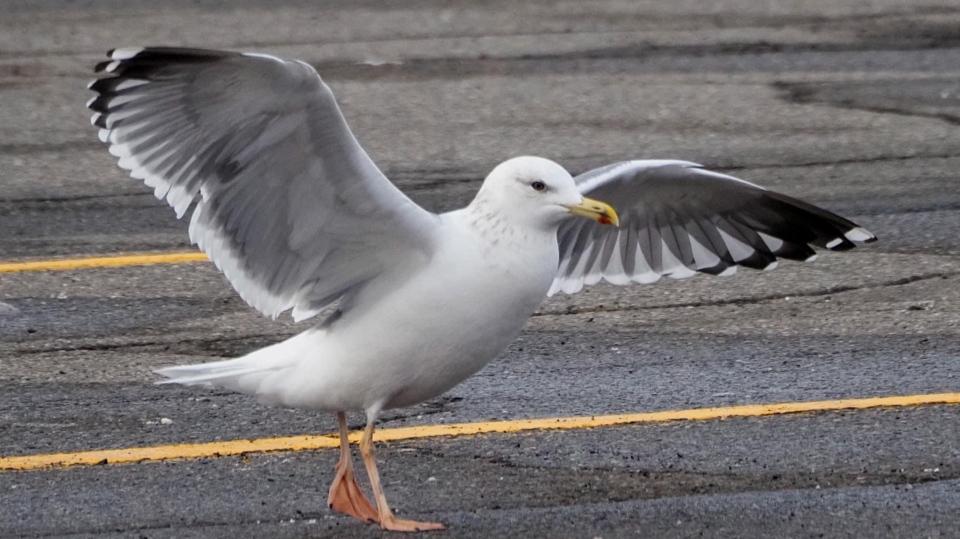 Taimyr Gull in New Glasgow parking lot