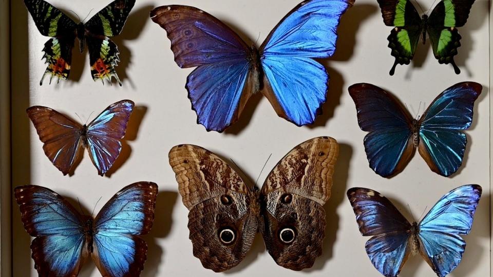 John Urban butterflies