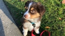 Zelda, a mini Aussie, was purchased during the pandemic. (Tessa Vikander/CTV News Vancouver)