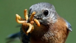 An eastern Bluebird grabs several mealworms at a feeder in Lawrence, Kan., Sunday, May 13, 2018. (AP Photo/Orlin Wagner)