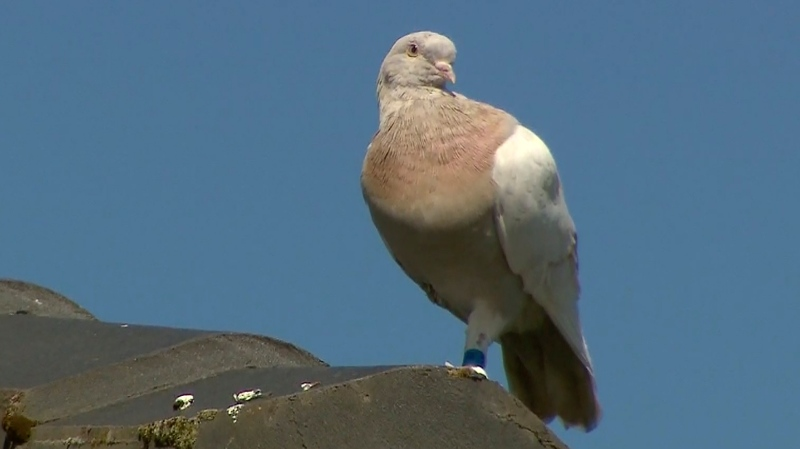 In this image made from video, a racing pigeon named Joe sits on a rooftop Wednesday, Jan. 13, 2021, in Melbourne, Australia. (Channel 9 via AP)