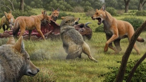 Two gray wolves (lower left) confront a pack of dire wolves over a bison carcass in southwestern North America 15,000 years ago. (Illustration by Mauricio Anton / UCLA)