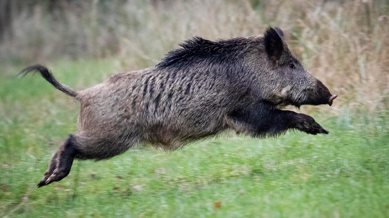 In this Nov. 9, 2019 file photo, a wild boar jumps in the Taunus region near Frankfurt, Germany. A wild boar was spotted in Magog in Quebec's Eastern Townships and authorities would like to see it captured. (AP Photo/Michael Probst)
