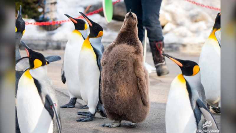 A newly hatched king penguin, Boudicca, will take part in this year's Penguin Walk at the Calgary Zoo, which launches once again on Friday. (Courtesy Calgary Zoo)