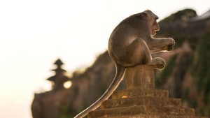 Monkeys at the Uluwatu Temple in Bali, Indonesia, have been observed bartering stolen objects for food rewards according to a new study. (Sergi Reboredo/VW Pics/Universal Images Group/Getty Images/CNN)