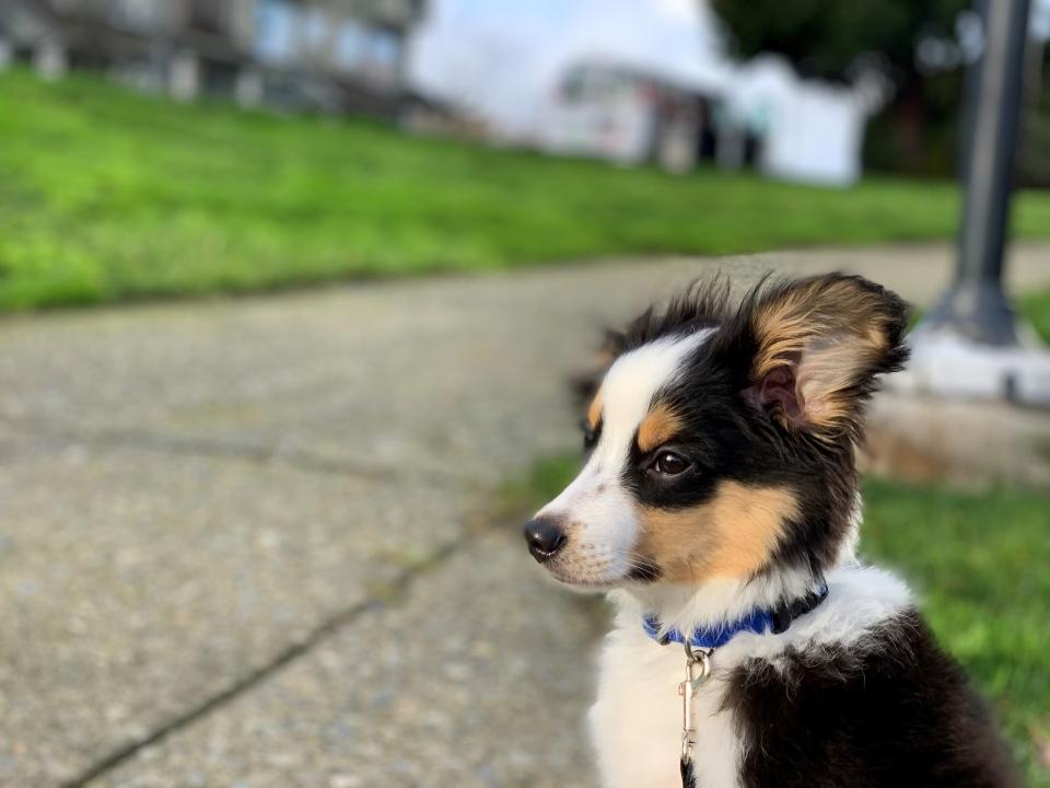 Max, Matt Stern's puppy, is a mini Aussie.