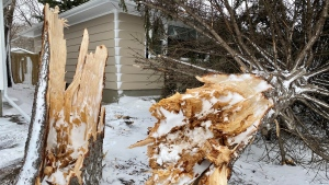 A large tree came down in 3200 block of Montague St. around 1 a.m. Thursday morning.  This tree crashed down on a roof, leaving a hole in the roof above the living room.  (Gareth Dillistone / CTV News Regina)