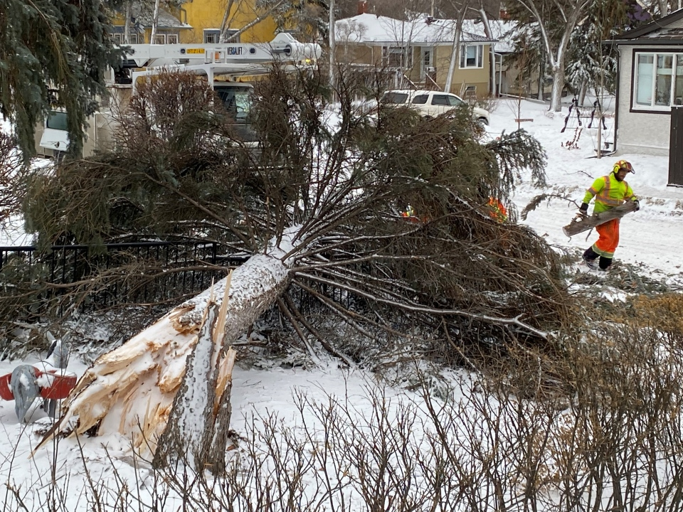 City of Regina crews cut up a large tree that fell down in the 3200 block of College Ave. The tree was blocking the roadway. (Gareth Dillistone / CTV News Regina)