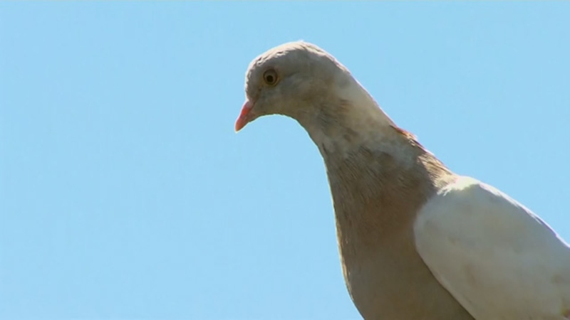 U.S. pigeon that reached Australia could be killed