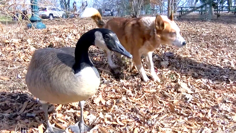 Orphaned goose becomes a dog's best friend