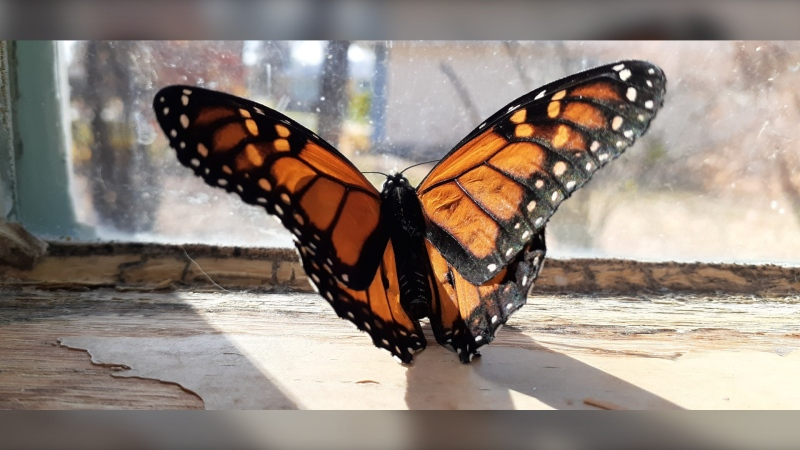 Freddy the monarch butterfly (Photo courtesy Debbie Tonner)