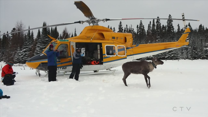 Saving the last Lake Superior north shore caribou
