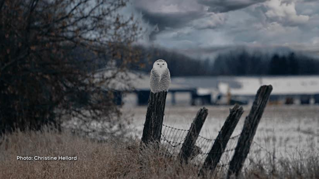 Beautiful snowy owl. (Christine Hellard/CTV Viewer)