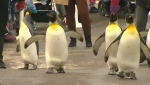 The penguin walk is back at the Calgary Zoo