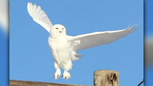 "Snowy Owl doing some pre-flight ""Jumping Jacks"" before takeoff. Photo by Dennis Swayze."