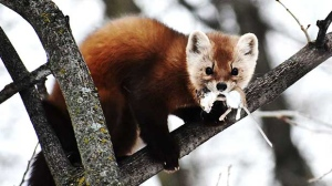 Caught this rare Winnipeg sighting, mouse-hunting Pine Marten in south St. Vital this morning. Photo by Wade Munro.