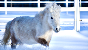 Our Miniature Therapy horse enjoying some running around in the snow. 1 of 9 horses on our farm providing Equine Assisted Psychotherapy for people struggling with mental health located in Kars. (Ryan Theriault/CTV Viewer)