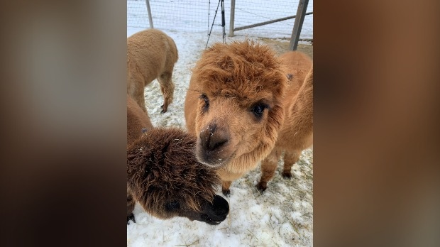 An alpaca at a rescue farm