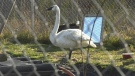 Fewer swans making annual return to island