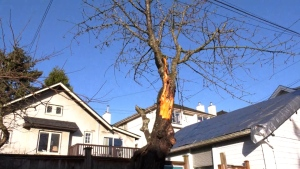 Kogawa cherry tree damaged during windstorm
