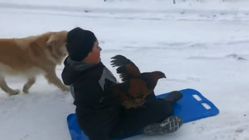 A 10-year-old boy and his chicken have taken to sledding together along with their dog.